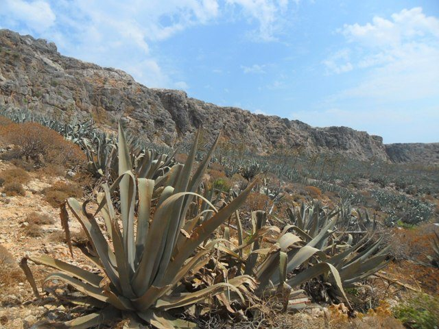 Gramvousa agavé Nyugat-Kréta látnivaló