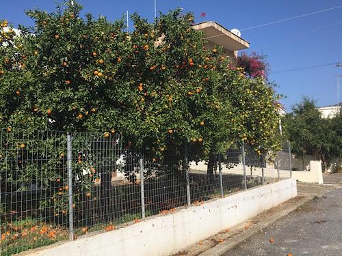 Kréta Perama narancsfa