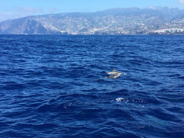 Delfin bálna Madeira