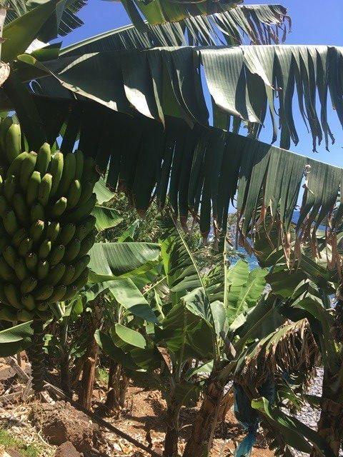Madeira banán